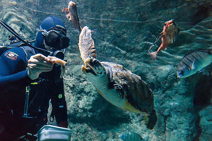 alimentando a Juan tortuga boba de Aquarium Costa de Almería
