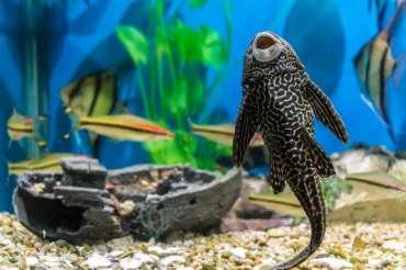 El pez limpiafondos plecostomus