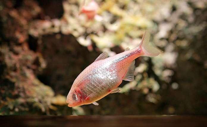 El pez tetra ciego o treta cavernícola