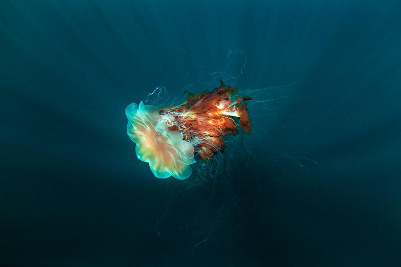 la medusa mas grande del mundo