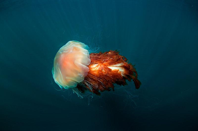 La medusa más grande del mundo