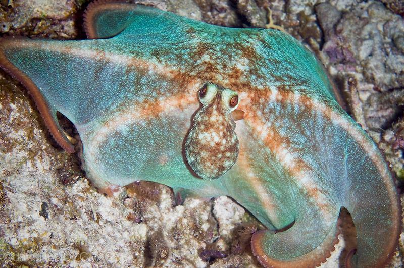 Pulpo de arrecife caribeño