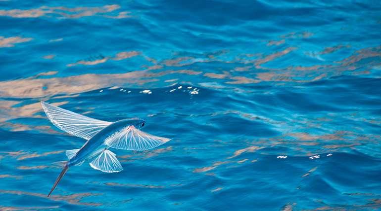 El pez volador: Exocoteidae