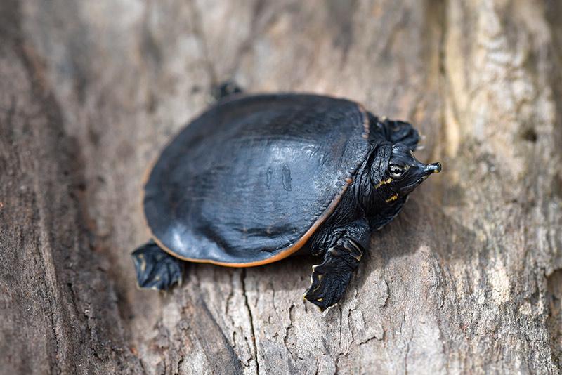 tortugas de caparazón blando
