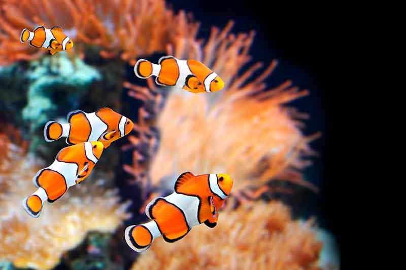 Peces payaso, peces hermafroditas
