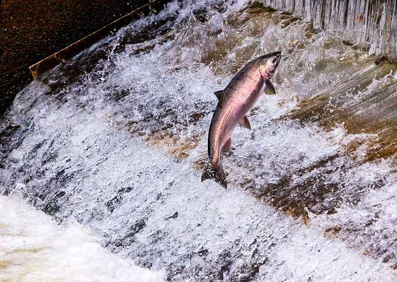 reproducción en la migración de los peces