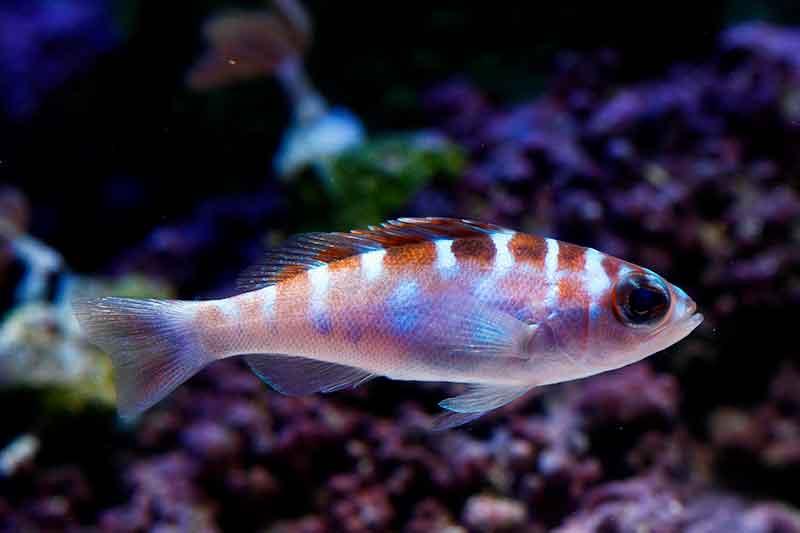 serrano pálido, peces hermafroditas