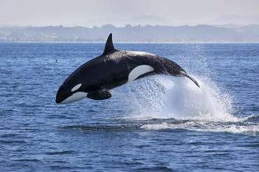 Orcas: todo lo que debe saber sobre este tipo de cetáceo