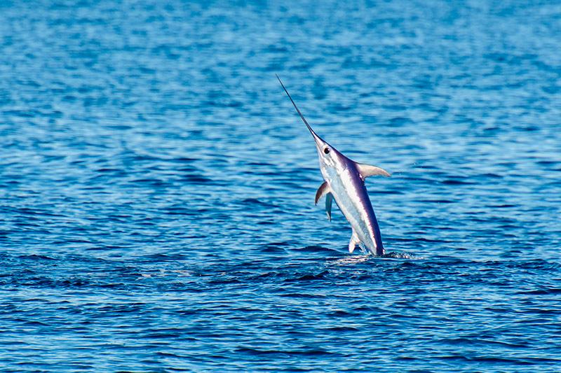 El pez espada, curiosidades y características