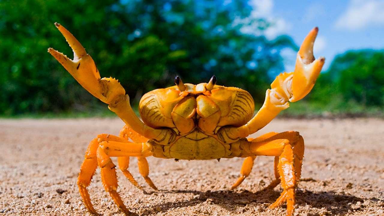 Cangrejos: características y tipos de estos crustáceos