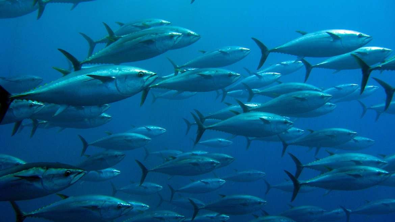 Atún rojo: ¿dónde viven? | Aquarium Costa de Almería