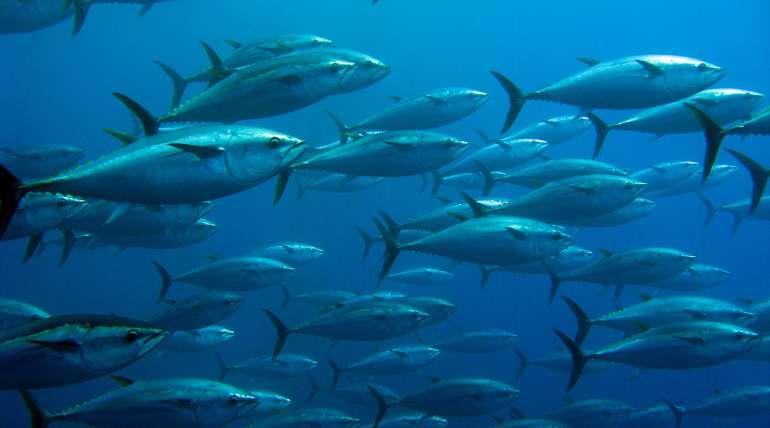 Atún rojo, uno de los peces más codiciados