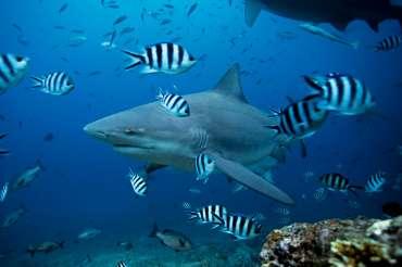 El tiburón toro, la sorprendente especie capaz de remontar ríos y vivir en aguas dulces
