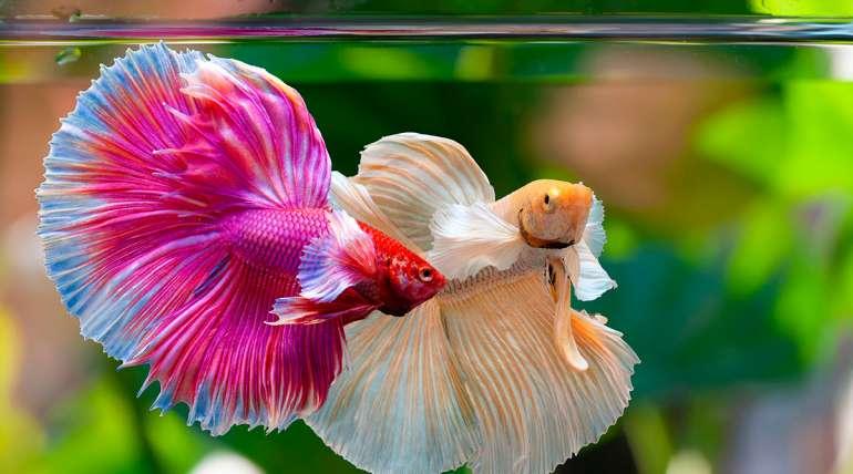 Los peces de acuario más fascinantes del mundo