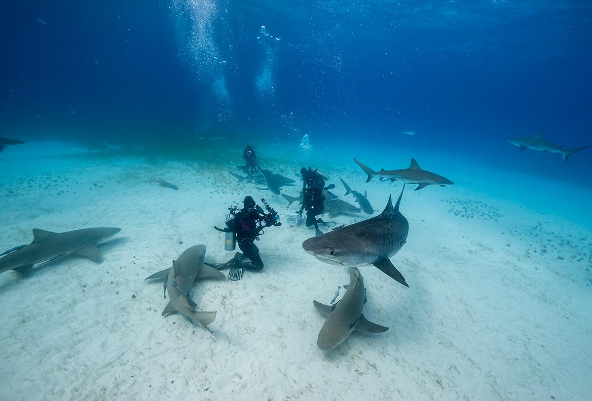 Buzos con tiburones tigre
