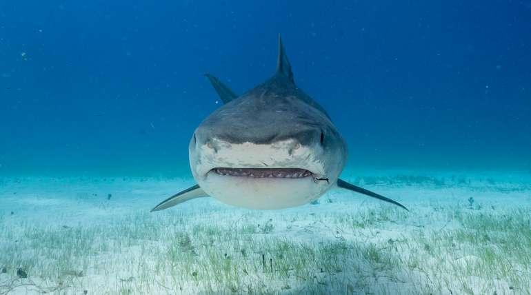 Tiburón tigre, un superdepredador de los océanos
