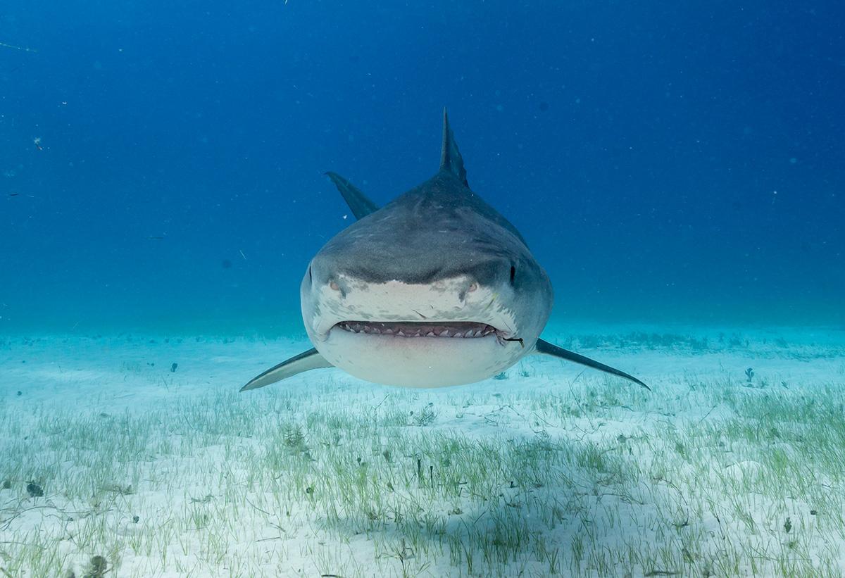 Imagen de tiburón tigre