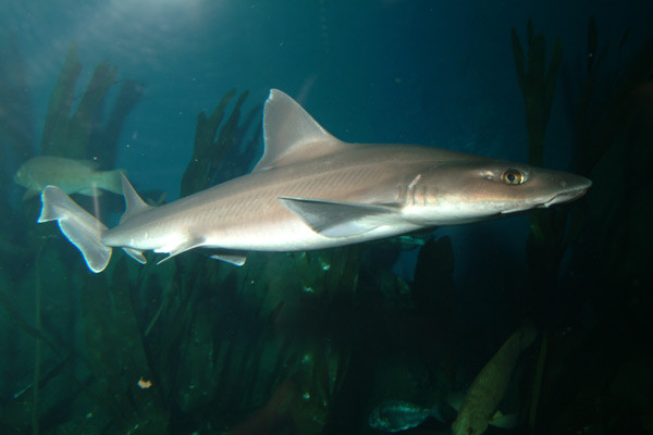 Musola pez, el tiburón que puede encontrar en la costa andaluza